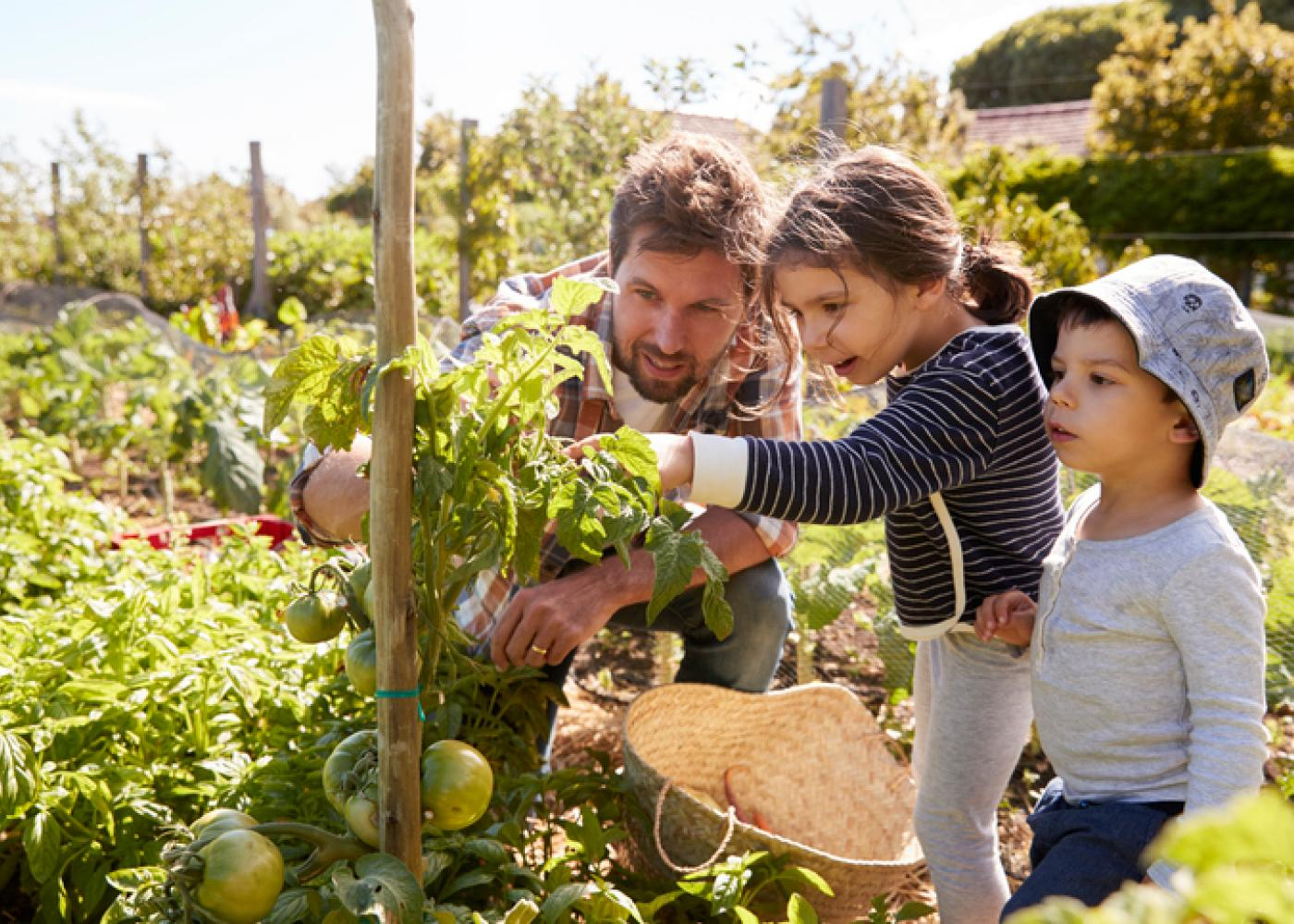 dad, son and daughter pick tomatoes in the sun